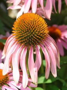 Coneflower - alternative treatment for lymphoma