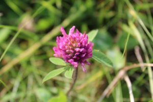 Red Clover - alternative treatment for lymphoma